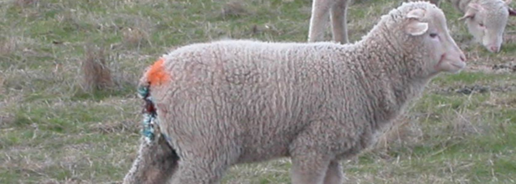 Taking the pain out of lamb marking