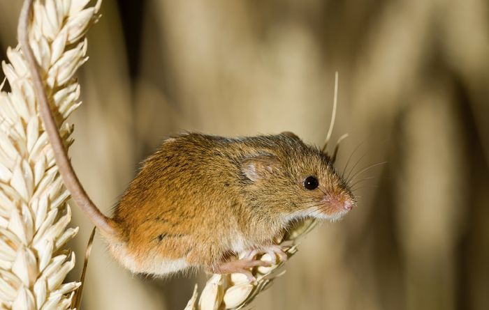 Mice alert for stored grain bunkers