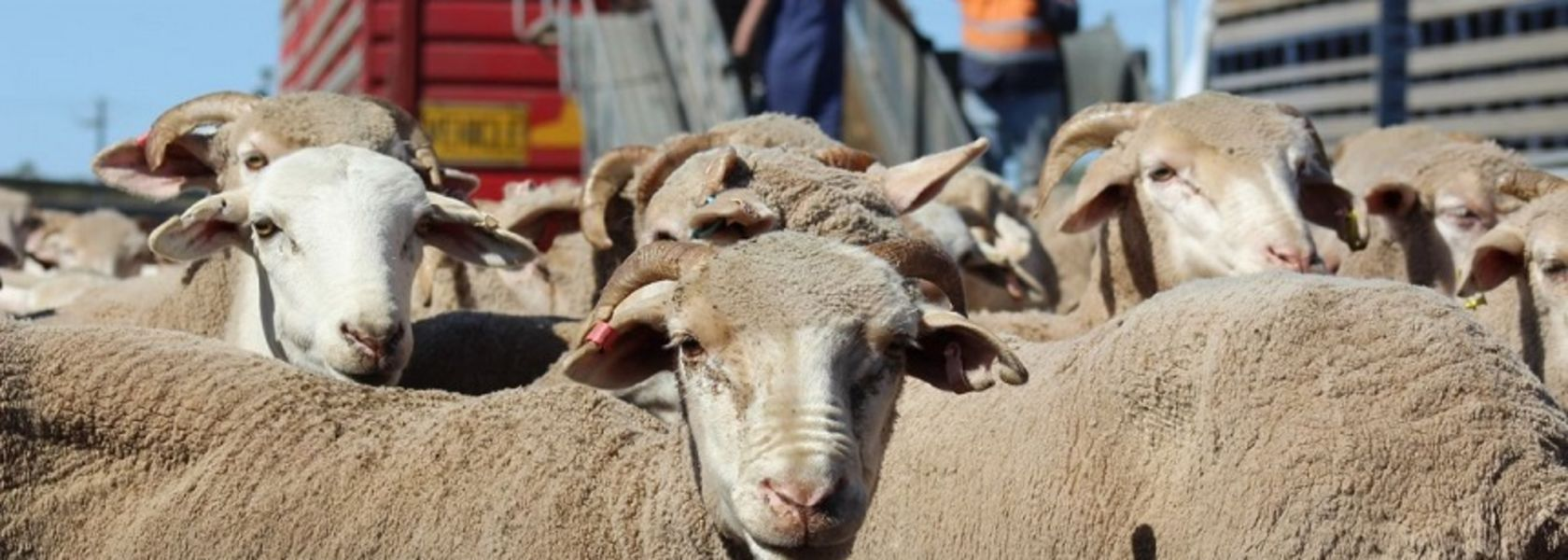 Sheep shipment refused travel to Middle East