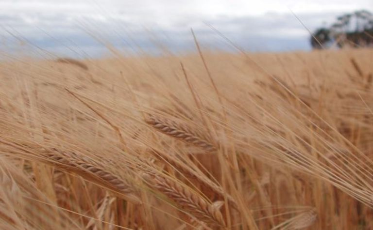 Improving barley for Chinese breweries