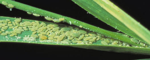 Aphids wanted to assist pest management research