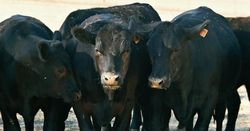 Aussie beef producers warned to 'stay cautious'
