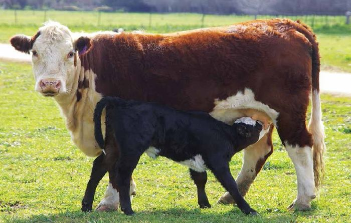 How cow size affects profitability