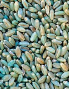 Research Report: Stored Grain And Seed Protectants - Preventing Pests