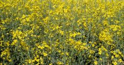 Warning on haloxyfop for canola and oilseeds