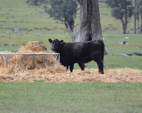 Drought pushes female cattle turn off to record levels