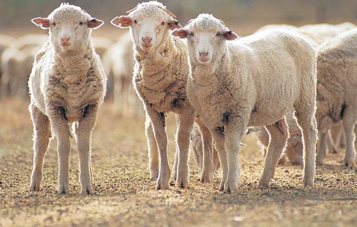 Students urged to shake up sheep industry