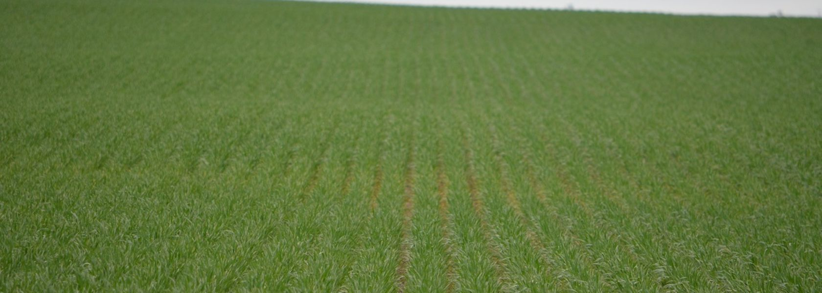 New heat tolerant wheat varieties on the cards