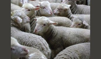 Heavy lamb yardings remain strong as prices take a hit