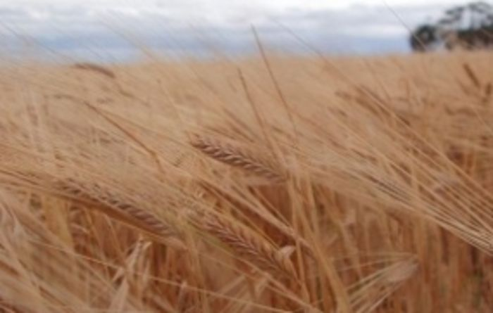 Aussie barley to be marked against Canada's best
