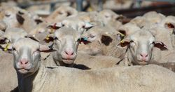 Could sheep wear activity trackers?
