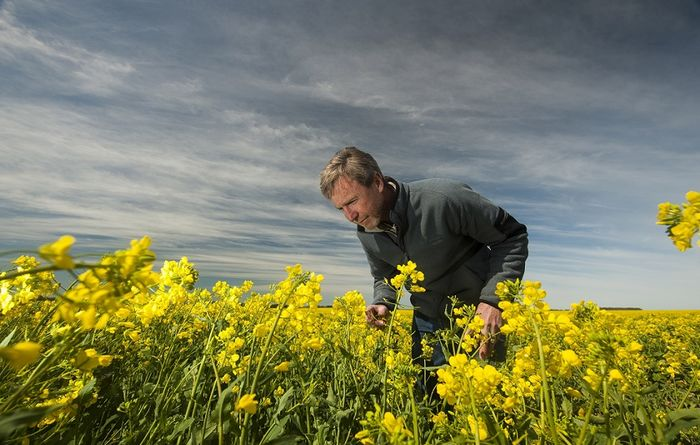 Latest canola cultivar blackleg ratings now available