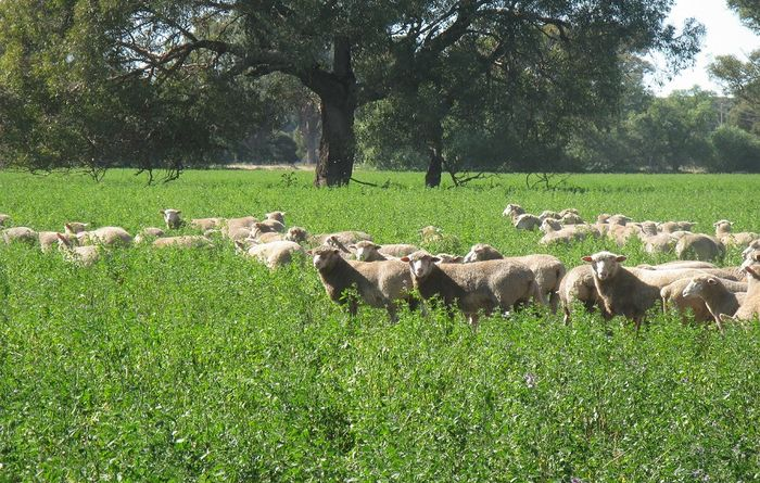 Know your NLIS requirements for lambing season