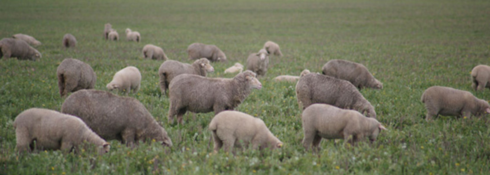 Concerns over WA lamb, sheep and mutton prices