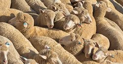 Sheep deaths prompt investigation into Middle East bound voyage