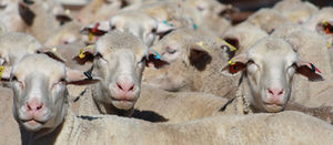 Cashing in on the sheepmeat boom
