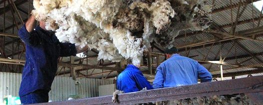 China's appetite for fine wool grows