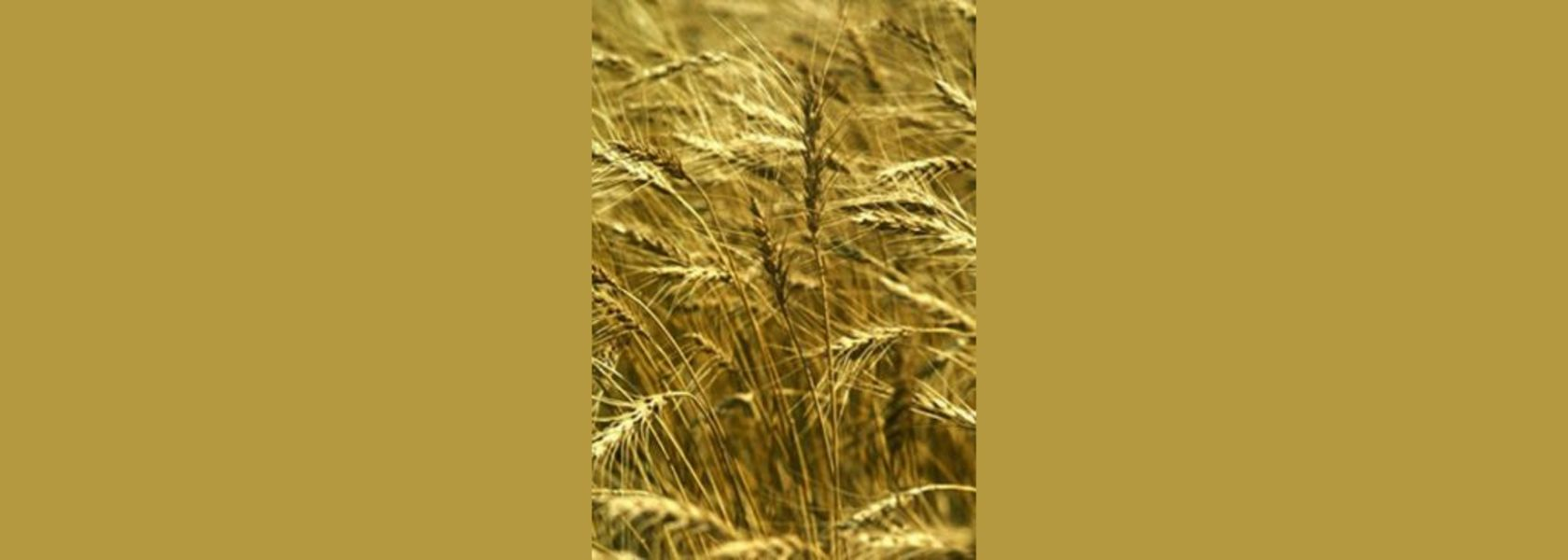 Bulk wheat to be imported