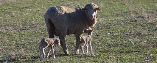 Weaning lambs early in a drought requires good planning