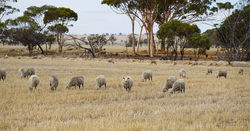 Tips for grazing sheep on stubble