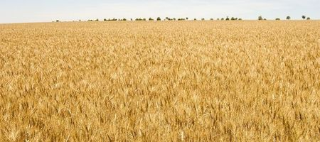 WA wheat yields beat long term rainfall decline