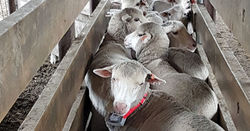 Tracking sheep provides nutrient insights