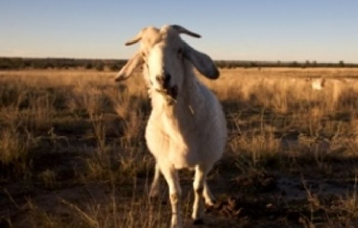 Goat prices continue to soar