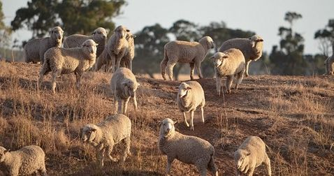 Sheep drench resistance trial looking for help