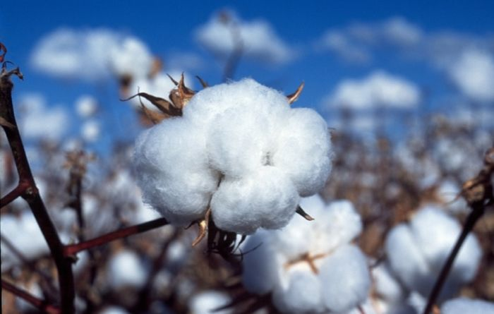 Grain producers can learn from cotton farming