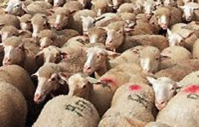 Sheep in Pakistan to be processed