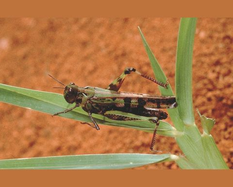 New resources for locust control