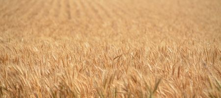 Landmark wheat study involves WA scientists