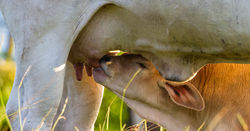 Research shows lactation has a big effect on calf mortality