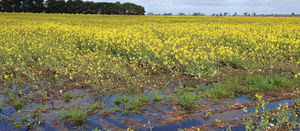 Take the heat out of canola variety decisions with early planning