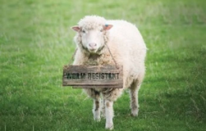 Worm resistant sheep bring pasture benefits