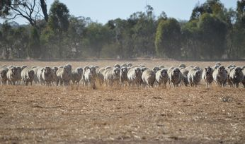 Wool production continues downward trend