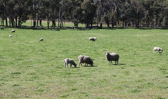 Unprecedented sheep genetics resource revealed