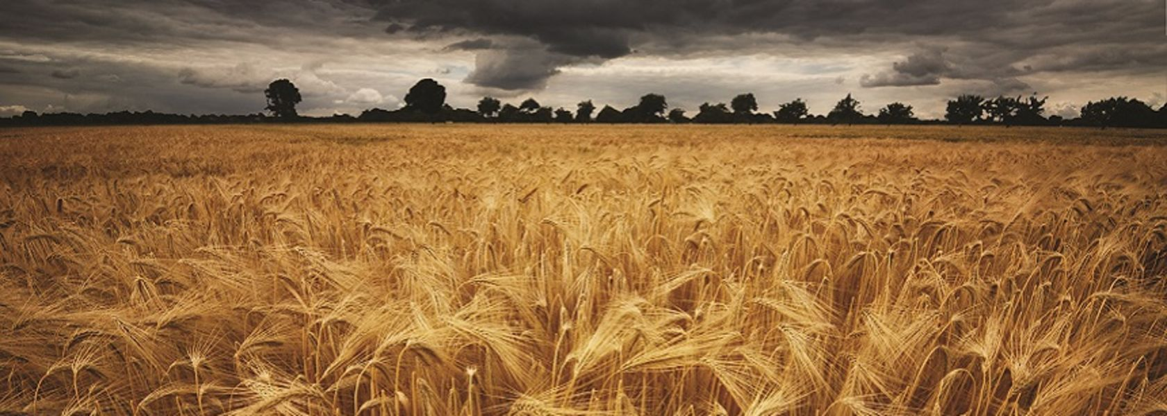 Wheat yield decline down to climate change: CSIRO