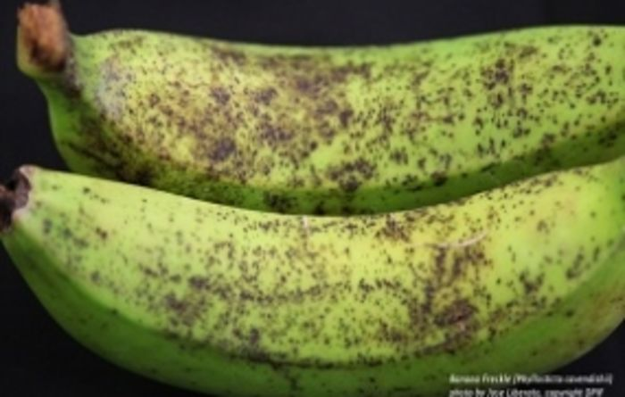 NT plan to eradicate banana freckle