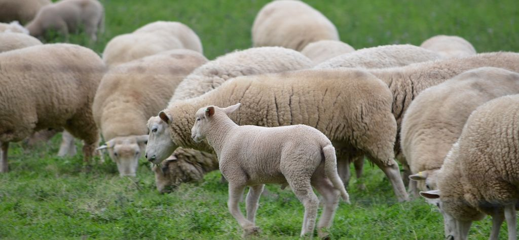 Lamb slaughter numbers drop to eight-year low