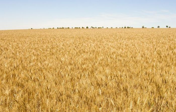 Calls to maintain wheat test weight