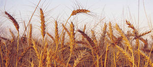 Australia will be tested by Black Sea wheat