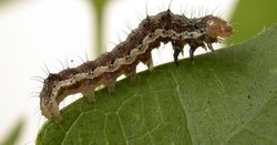 CSIRO project maps out ways to beat megapests