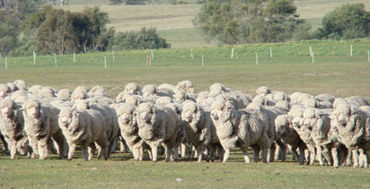 Parasite warning for sheep producers