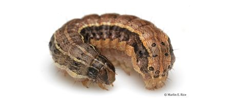 Emergency permit granted to combat fall armyworm