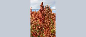 New technology to advance Australian quinoa industry