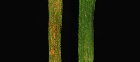 CSIRO 'gene sandwich' to enhance wheat rust resistance
