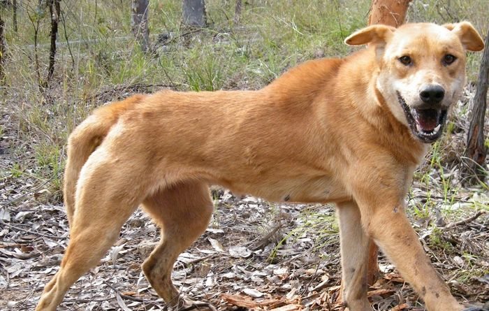 Qld wild dog success; how does the rest of Australia fare?