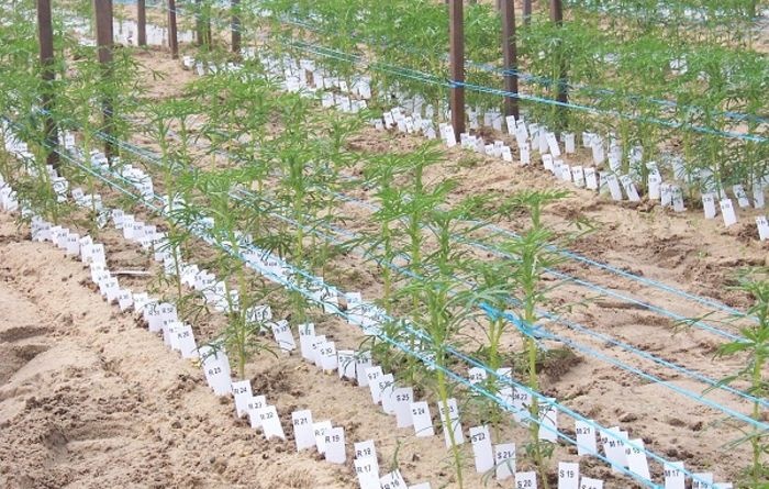 Developing better lupin varieties