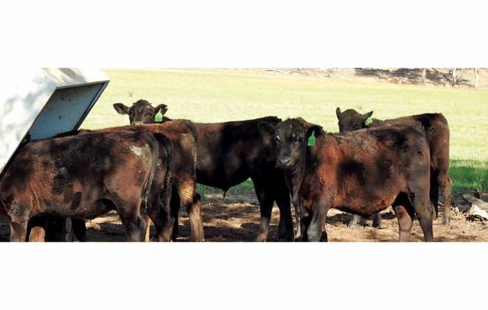 Top tips for weaner cattle